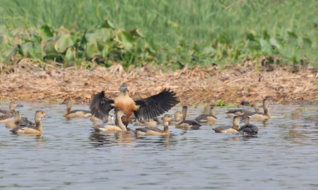 Birds, lesser whistling duck -Dendrocygna javanica, also known as Indian whistling duck or lesser whistling teal, species of whistling duck photo