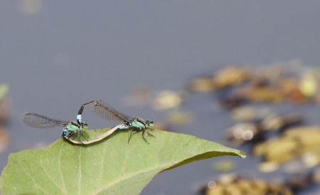 dragonfly mating on green leaf photo