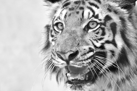 Beautiful angry face of Royal Bengal Tiger , Panthera Tigris, West Bengal, India. It is largest cat species and endangered, in Sundarban mangrove forest of India and Bangladesh. Black and white image.