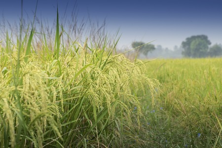rural india: Fully grown paddy in a paddy field, green agriculture land, rural image of West Bengal, India. Paddy is the biggest agricultural product of rural India, especially in West Bengal, India.