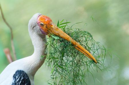 leucocephalus: Indian, Painted stork (Ibis leucocephalus) , making nest with grass, Kolkata , West Bengal, India Stock Photo