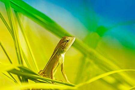 Beautiful Indian gecko inside a bush looking out , green foliage background, morning light , Kolkata, India - nature stock photograph Stock Photo