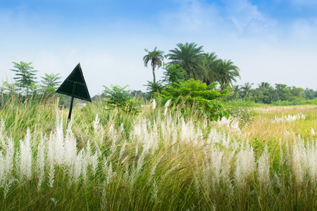 Kans grass (Saccharum spontaneum) in the field with blue sky background, Kolkata, West Bengal, India - welcoming autumn in the city. Stock Photo