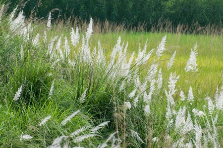 saccharum: Kans grass (Saccharum spontaneum), dark green backgound, Kolkata, West Bengal, India - welcoming autumn in the city. Stock Photo