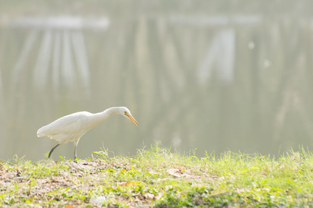Indian pond heron or paddybird (Ardeola grayii) , a small heron, walking past a lake with fog in background. Stock image shot at Kolkata, Calcutta, West Bengal, India Stock Photo