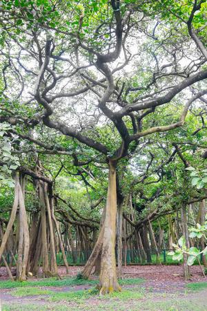 acharya: The Great Banyan is a banyan tree (Ficus benghalensis) located in Acharya Jagadish Chandra Bose Indian Botanic Garden, Howrah, near Kolkata, , West Bengal, India. More than 250 years old. Stock Photo