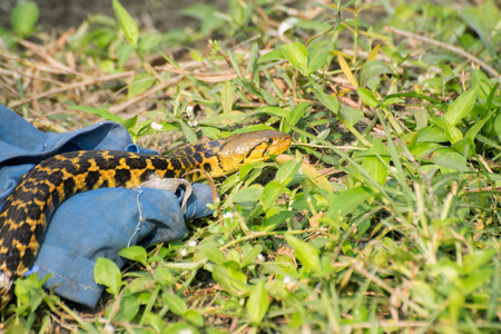 Beautiful yellow snake with black spots coming out of its hide, nature stock image shot at kolkata, Calcutta, West Bengal, India
