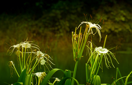 howrah: White flowers with dark green nature background, Howrah, West Bengal, India Stock Photo