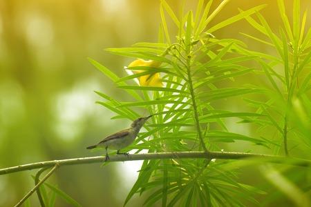 kolkata: The purple sunbird , Cinnyris asiaticus, a small sunbird. Sitting on a tree branch.