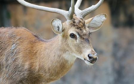 mule deer: Portrait of a Indian deer, wildlife image, Kolkata , West Bengal, India