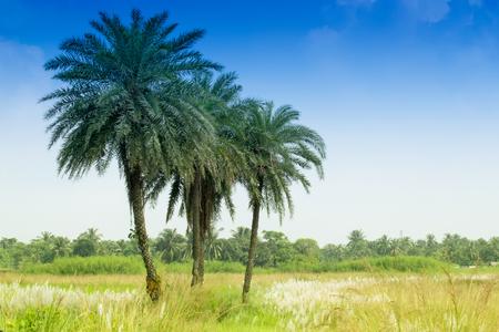 saccharum: Kans grass , Saccharum spontaneum, blue sky backgound, Kolkata, West Bengal, India - welcoming autumn in the city. Stock Photo