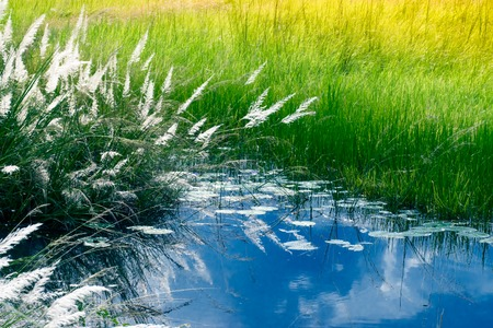 howrah: Kans grass , Saccharum spontaneum and water reflection of sky, Kolkata, West Bengal, India - welcoming autumn in the city.