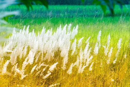 freely: Kans grass , Saccharum spontaneum, green backgound, Kolkata, West Bengal, India - welcoming autumn in the city.