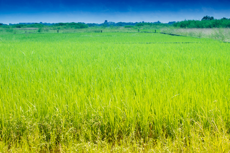 howrah: Beautiful rural landscape of Paddy field, blue sky , Howrah, West Bengal, India