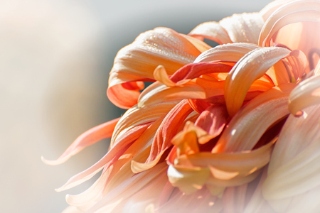 them: Artistic flower image, orange dahlia flower petals with shining dew drops on them, light color back ground, nature stock photograph Stock Photo