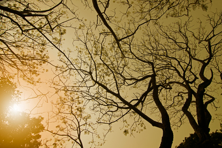 specific: Leafless tree branches of winter season, season specific image of nature. Image shot against Sun, at Kolkata, Calcutta, West Bengal, India