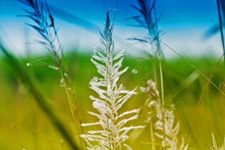 freely: Kans grass , Saccharum spontaneum, blue sky backgound, Kolkata, West Bengal, India - welcoming autumn in the city. Stock Photo