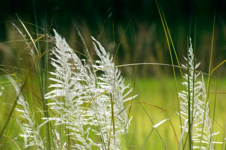 saccharum: Kans grass , Saccharum spontaneum, dark green backgound, Kolkata, West Bengal, India - welcoming autumn in the city.