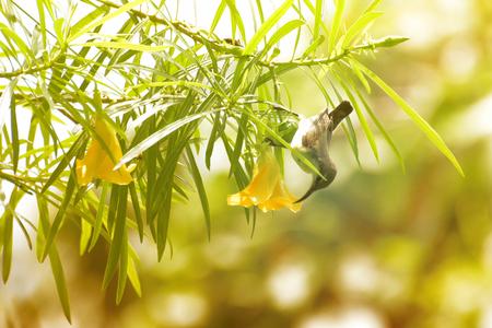 The purple sunbird , Cinnyris asiaticus, a small sunbird. Sucking nectar from flower, active bird stock image