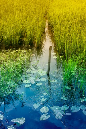 howrah: Water reflection of sky and yellow green paddy field, , rural Bengal at Howrah, West Bengal, India
