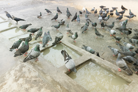 bathe: Pigeons bathing and drinking water at Mallik Ghat or Jagannath ghat flower market in Kolkata , on 13.02.16. It is one of Biggest flower markets in Asia. Stock Photo