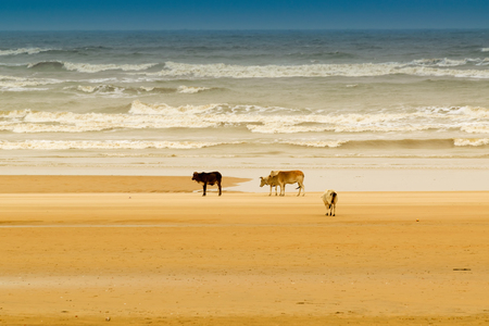 Tajpur sea beach - bay of Bengal, India. View of cows roaming on beach sand with bay of Bengal in the background.
