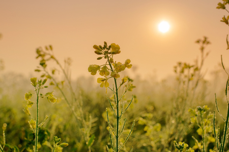 Winter morning - dew drops on mustard plants and sun rising in the background. Stock Photo - 97906300