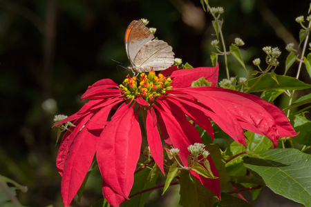 Psyche butterfly (Leptosia nina), sucking nectar from fully bloomed red flower. Image shot in a forest, sikkim, India.