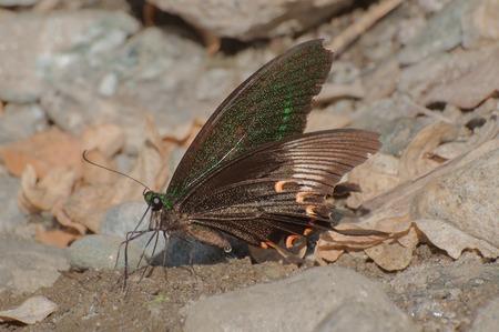 Common Mormon butterfly (papilio polytes linnaeus), urinating on wet land. Image shot at Sikkim , India