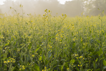 Winter morning - mustard plants field - yellow coloured agricultural field. Rural Indian scene. Stock Photo - 99211227