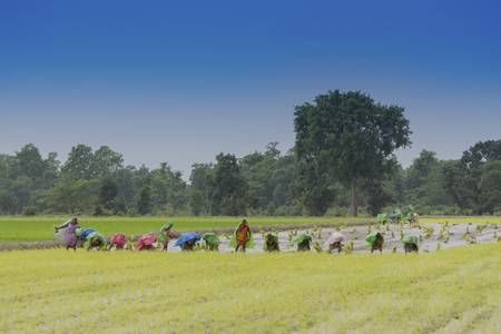 PURULIA, WEST BENGAL / INDIA - 14TH AUGUST 2017 : Indian rural women are busy harvesting paddy (rice) seeds in the yellow paddyfield under rain during monsoon. it is season to grow paddy. Editorial