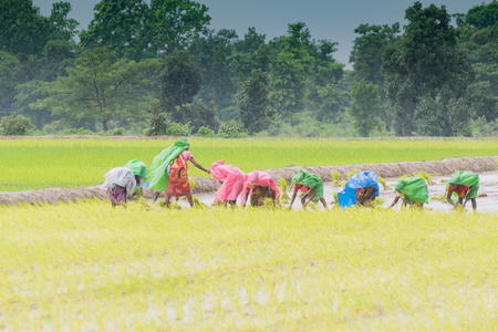 Indian rural women are busy harvesting paddy (rice) seeds in the yellow paddyfield under rain during monsoon. it is season to grow paddy at Purulia, West Bengal - India.