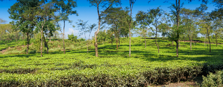 Panoramic view of Jhalong tea estate with trees and blue sky above - tea estate stock image. Shot at Dooars , North Bengal of West Bengal, India