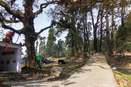 Trekking route to Tunganath temple, uttarahand, India. Beuatiful trees beside the mountain pathway.
