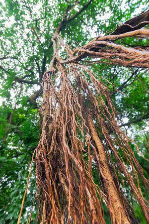 Vertical image of hanging brown roots of a big banyan tree - shot at Acharya Jagadish Chandra Bose Indian Botanic Garden previously known as Indian Botanic Garden, Howrah, West Bengal, India