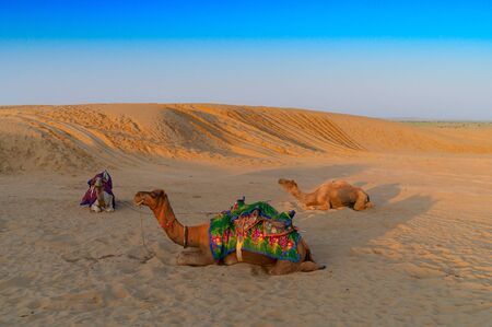 Camels with traditioal dresses, are waiting for tourists for camel ride at Thar desert, Rajasthan, India. Camels, Camelus dromedarius, are large desert animals who carry tourists on their backs.