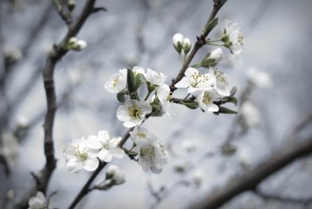 flowering plant: Branch of spring fruit blossom