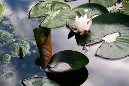slimy: Water lily in slimy pond