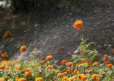 sprinkling: Sprinkling marigolds in city park