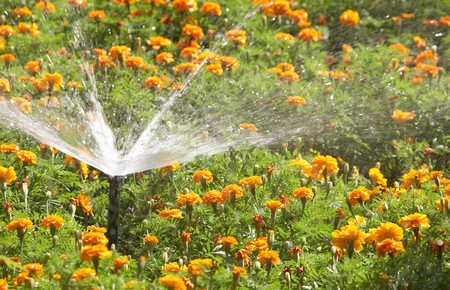 Sprinkling marigolds in city park photo