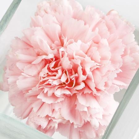 Pink carnation in glass vase macro Stock Photo - 13786788