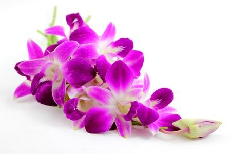 orchidee: Orchidea viola