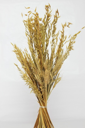 Ear of oat  drying on  white background photo