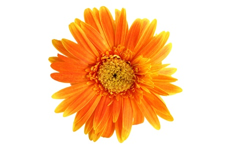 Orange gerbera on white background