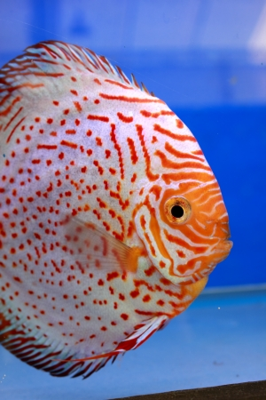 discus fish Stock Photo - 14365882