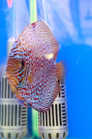 discus fish Stock Photo - 14365876