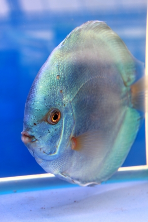 discus fish Stock Photo - 14365885