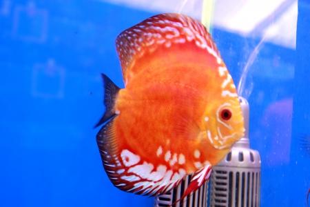 diskus: discus fish