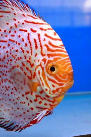 discus fish Stock Photo - 14365886