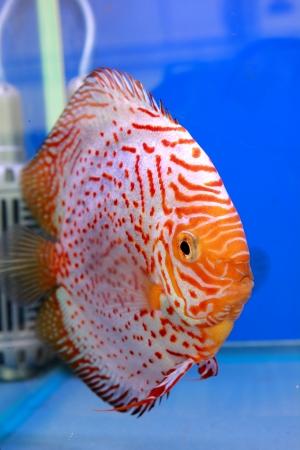 discus fish Stock Photo - 14365880